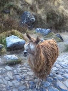 First Alpaca sighting roaming the streets of Cusco.